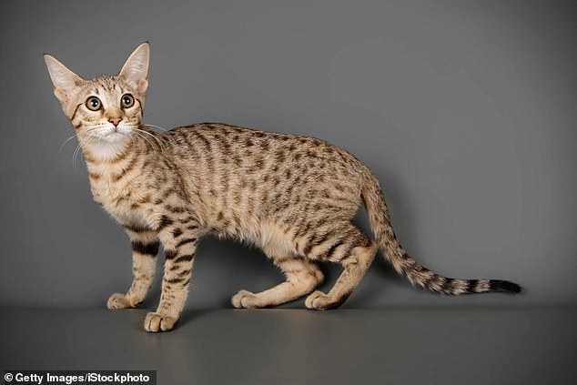 Mother of four Dr Nirdosh, told how she heard her son Alexander, four, and daughter Falcon, five, scream that a 'cheetah' had entered their garden (file picture of a Savannah cat)