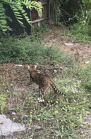 The Purrminator, we spotted it prowling through the undergrowth on Monday