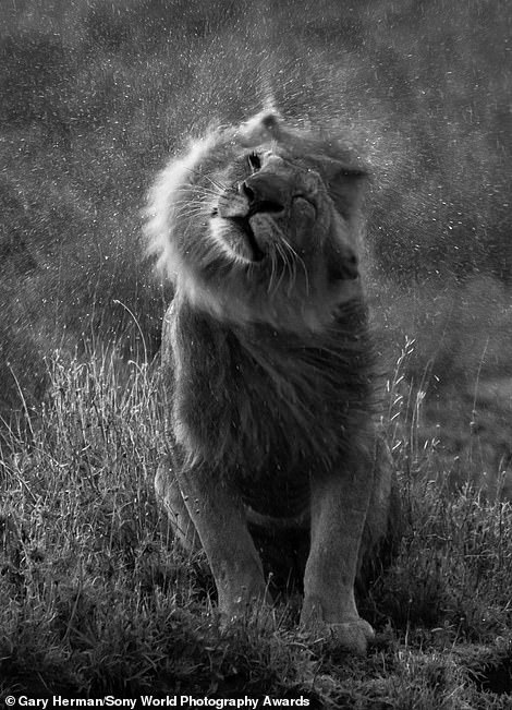 A lion shakes its mane in a dramatic black-and-white image taken by American photographer Gary Hermanin the southern Serengeti, Tanzania. Mr Herman said: 'We came across a group of male lions at the end of the day that allowed us to approach within 15 to 20 yards. It was pouring rain, the sun was behind the clouds and it created a beautiful backlight on the lion's mane'