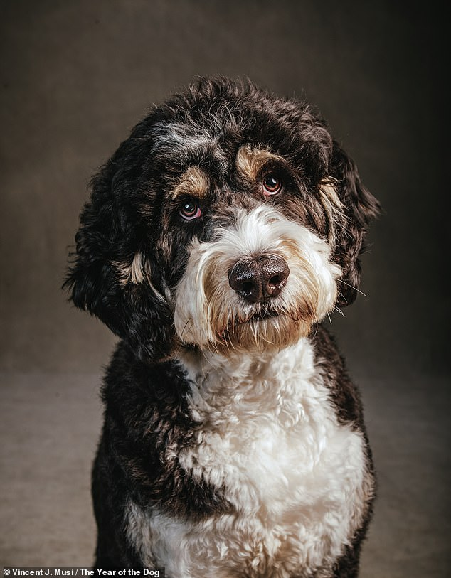 Thurston Montgomery is a two-year-old Bernedoodle, who gets his name from his uncanny resemblance to Mr. Thurston Howell III from the 1960s 'reality' show Gilligan's Island