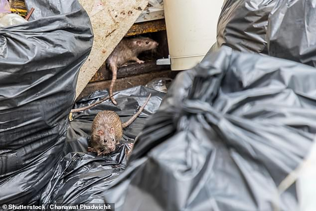 There are a variety of methods to keep rats away from homes. Top tips include keeping outdoor bins fully covered with lids that shut