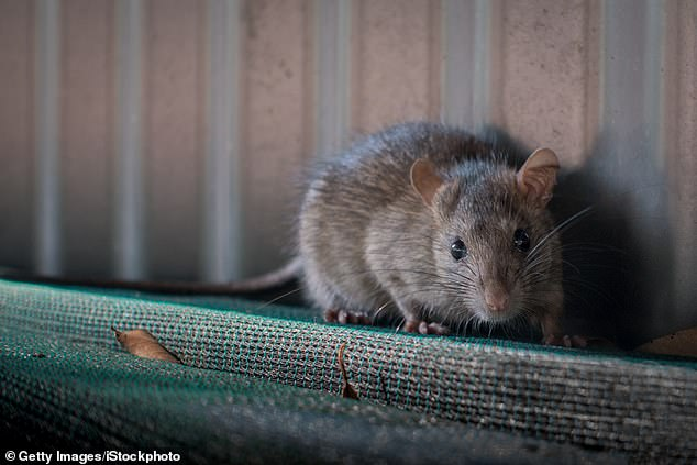 Increasingly chilly temperatures are set to bring hoards of freezing and hungry brown rats swarming into homes. The population of these disease-ridden rodents outnumber humans nearly two to one