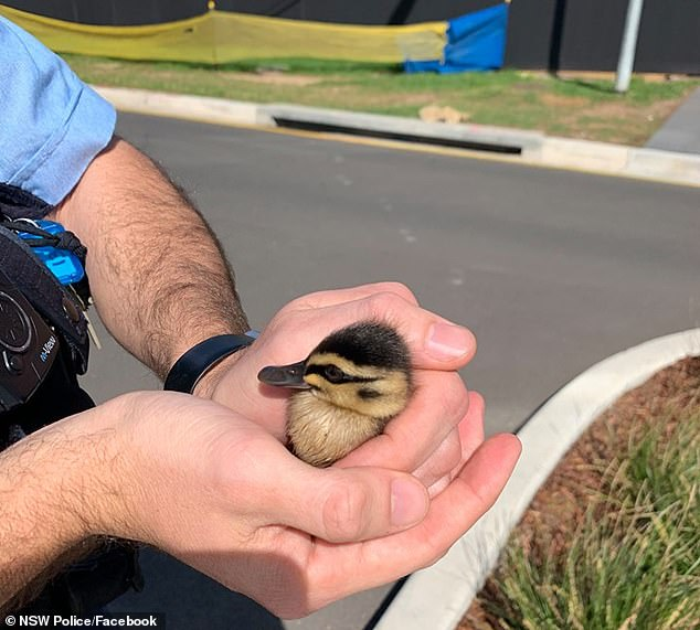 This little duckling was among the four who fell down a storm water drain and has had to be rescued