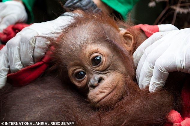 Sifa and her mother Mama Sifa were rescued from the recent massive forest fires in Indonesia