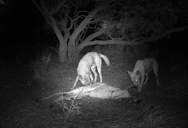 Ms Spencer was also surprised to not see more wild dogs and dingoes feeding off the carcasses of kangaroos (pictured)