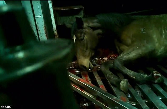 Shocking vision shows workers at the abattoir mistreating the horses, whipping them, kicking them and even yelling at them