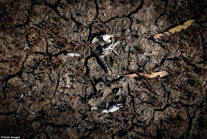 The remains of a small native crayfish lies in the dried-up bed of the Namoi River