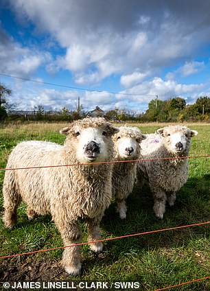 Sheep on the farm for food