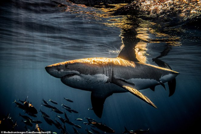 Sinlight glints off the back of this 'prehistoric' killer. London-born Rannachan has come face-to-face with countless sharks during his adrenaline-fuelled career