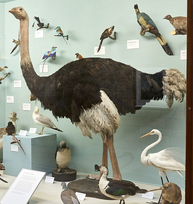 An ostrich on display at the Natural History Museum in London. A study of five museums found that women weren't the only females forced to fight sexism