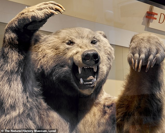 Brown bear on display at the Natural History Museum in London. It is harder to classify females into the correct species when there are not many to refer to
