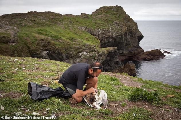 Uma gaivota morreu após ser apanhada em um anzol de 10 cm de comprimento.  Na foto, um especialista remove um anzol da garganta de uma grande gaivota de dorso negro
