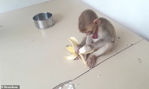 Officers give the monkey a tasty banana and give it a hand by peeling it for him. A collar is seen around the monkey's neck after it was separated from its mother and captured by some men according to reports