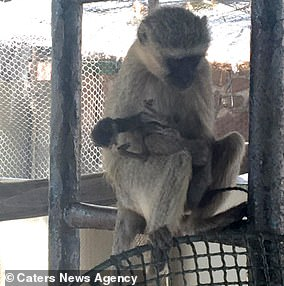 This vervet monkey was seen carrying and grooming its dead baby for 10 days after it died at a game reserve in South Africa, by which time it had hardened and started to rot.