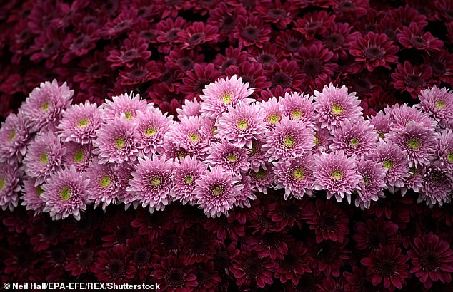 Petite flowers such a chrysanthemum are associated with those born under the Virgo Zodiac - and represent those with a keen eye for detail. Stock image
