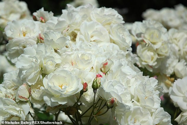 The delicate petals of a white rose are symbolic of Cancer's inner sensitivity. Stock image