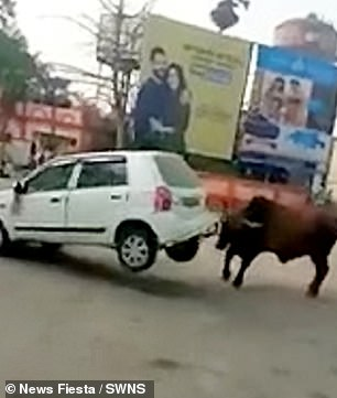 The bull lifts the boot of the car in the attack