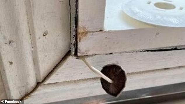 A terrified mother has issued a desperate plea for help after discovering a mushroom growing in the windowsill of her rental property (pictured)