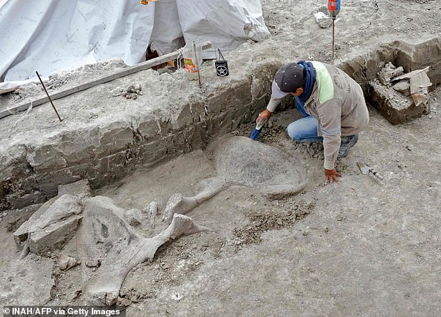 An expert working on mammoth bones in Tultepec, Mexico, where the bones of at least 14 mammoths, who would have lived more than 14,000 years ago, were found in what is believed to be the first find of a mammoth trap set by humans