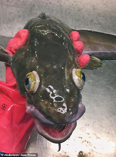 Adark-green cusk, a North Atlantic creature similar to a cod