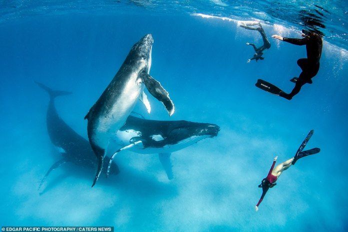 Alice is seen diving down with the humpback whales. Her husband said her amazing connection with whales allows her to share 'incredible moments underwater' with the marine animals
