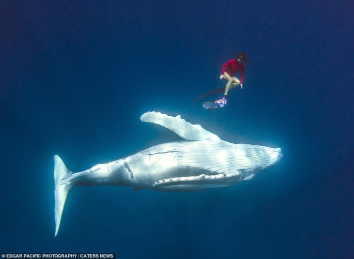 As the whale glides along in the sea off the coast of Tonga, Alice is pictured just yards from the majestic animal. Her husband who took the photos said: 'Despite the size of these animals, and the raw power that they have, there is almost a sense of complete serenity and calm when swimming alongside them'
