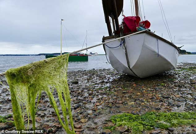 Approximately1.6 billion tons of dry food would be needed each year to feed those left on the planet and humans could grow that amount of seaweed in just three to six months. It can also be used as a means toprevent the body from absorbing radioactive
