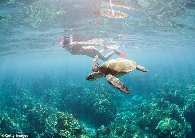 A female diver swims along side a sea turtle inSouth Maui (file image)