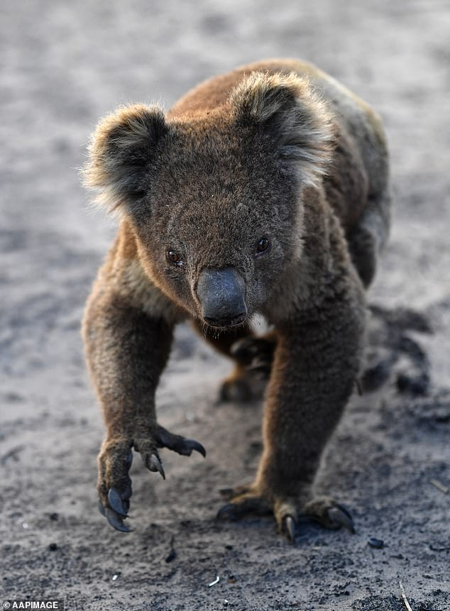 Volunteers are needed on Kangaroo Island for the next three months to help the affected wildlife. Pictured: An injured koala makes its way through the ash on Kangaroo Island