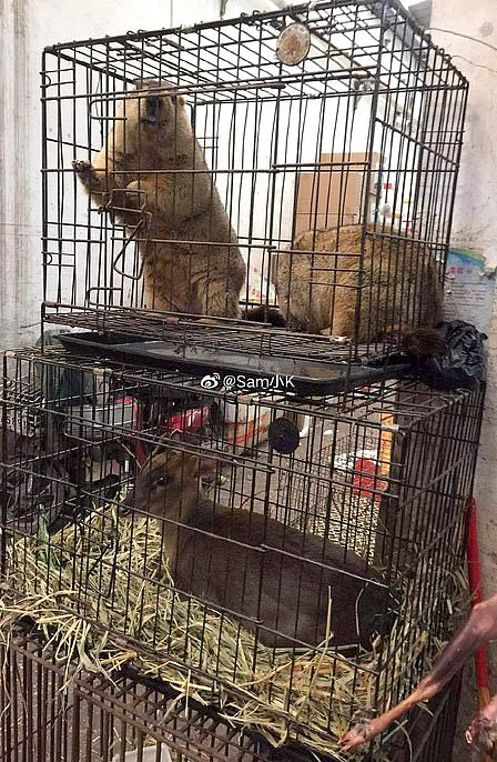 Two beavers are pictured in cages above a muntjac deer at the market