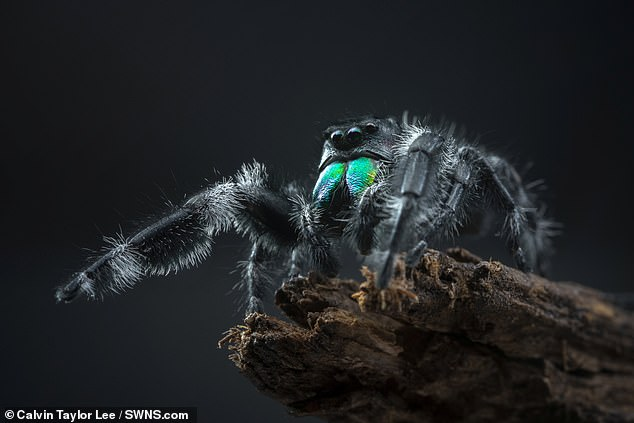 He added that he thinks another attempt could see him get up to 30 millimetres closer. Pictured, a different arachnid captured by Mr Lee, this one being a regal jumping spider