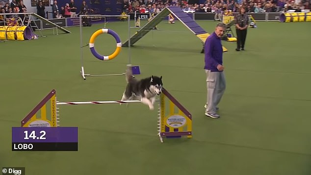 In the end it took over 76 seconds for Lobo to complete the competition