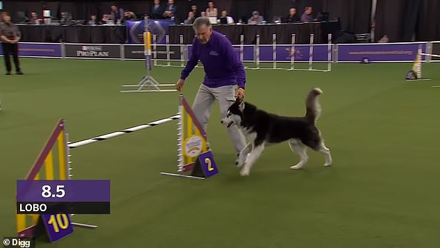 Lobo the Siberian Husky lost an agility competition at the Westminster Dog Show, but won the hearts of the audience after getting off track