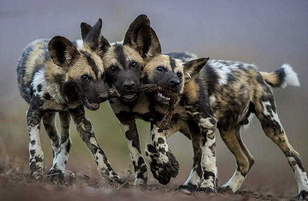 A pack of African wild dogs escaped from their compound and killed sixteen animals. The African wild dog is 'one of the world's most endangered mammals', with only about 1,400 left in the wild, according to the World Wildlife Fund (WWF) [File photo]