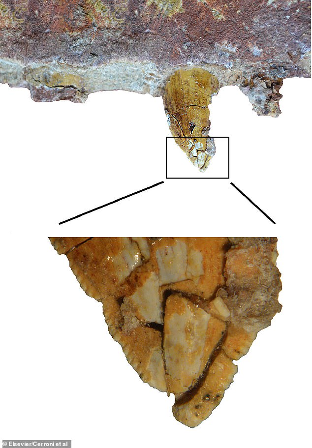 The 'most imformative' of the teeth of Tralkasaurus cuyi, in lingual view (the side near the tongue)