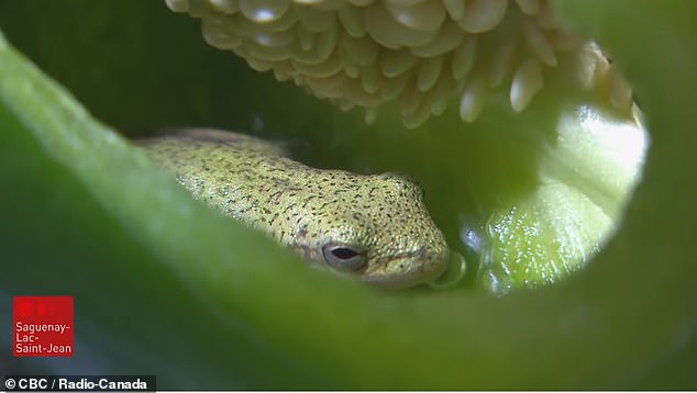 The green tree frog was allegedly found inside a whole pepper by Canadian couple Nicole Gagnon and Gérard Blackburn but experts have yet to find out how it got there