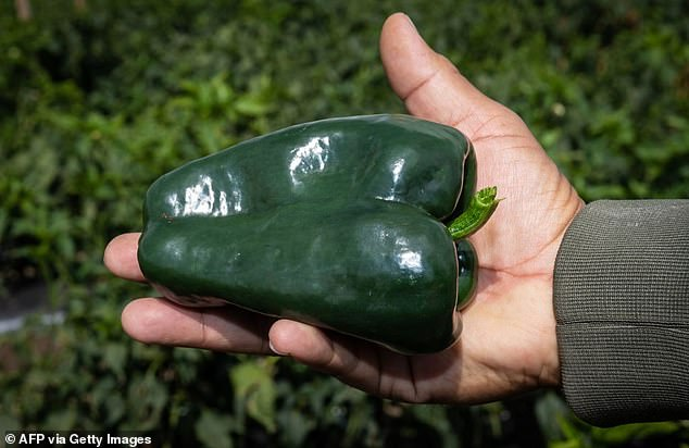 The green bell pepper is believed to have come from Honduras where there are also tree frogs