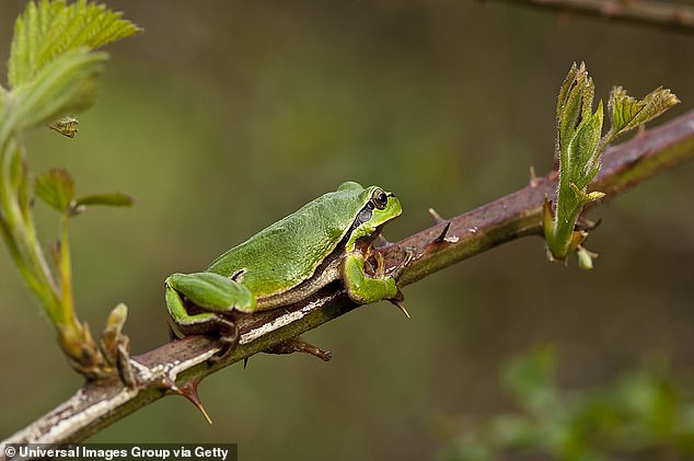 The white lip strip, horizontal pupil, and body proportions identified the frog but it was a different shade of green, thought to be because of the stress caused inside the pepper