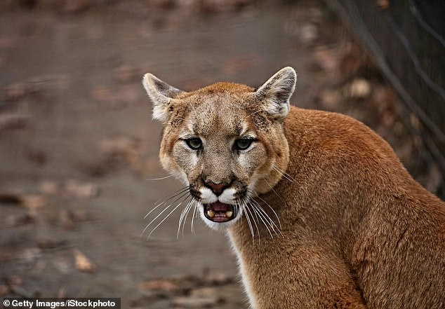 Experts estimate there are between 4,000 and 6,000 mountain lions in the state of California