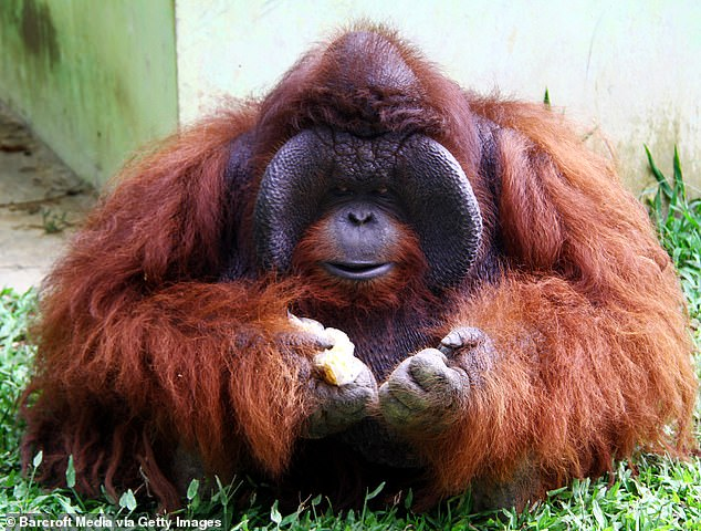 Asha and Jia were moved by Channel Four's Orangutan Jungle School documentary, which followed a group of young and endangered orangutans orphaned due to the deforestation of Borneo's rainforests