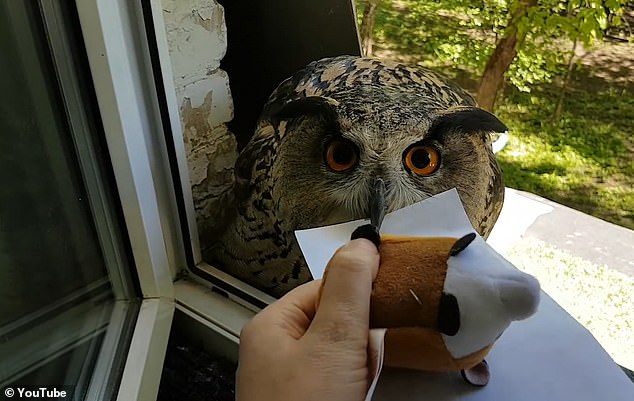 In a clip, filmed by ornithologist Nika Zubra, a Eurasian eagle-owl is seen waiting outside the window of a room with a letter held in its beak