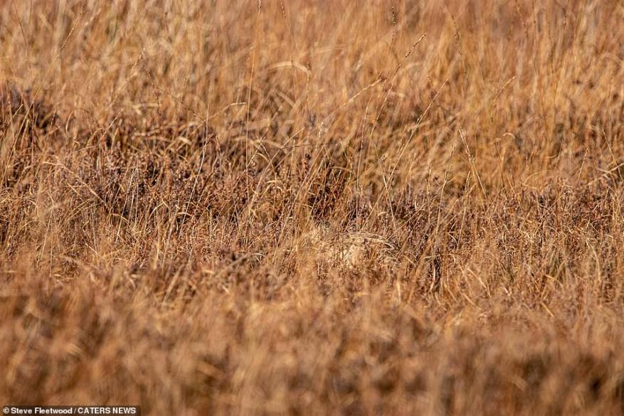 A hen pheasant hides among the autumn grass in Whitby, Goathland North, Yorkshire