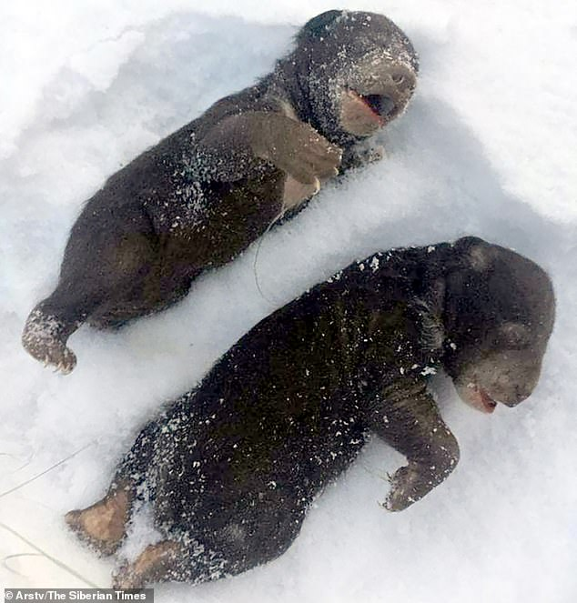 The dead cubs (pictured) were found by hunting experts who were patrolling a forest in the Anuchinsky district in the Far East of Russia