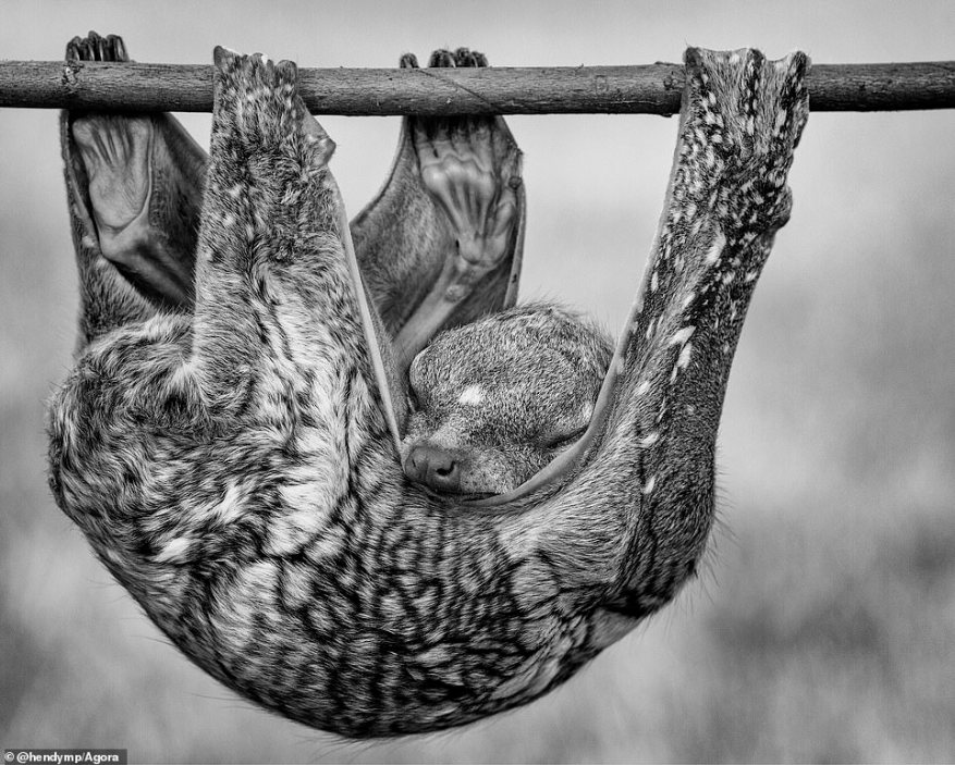 Indonesian photographer @hendymp captured this sweet shot of a sleeping flying lemur inWest Kalimantan, Indonesia. He said: 'This Sunda flying lemur was taking a well-deserved nap in my friend's garden. He looked so peaceful!'