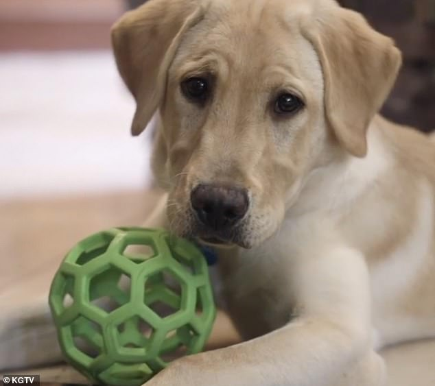 Ziggy (pictured) was cloned from Marley. His owners say his characteristics are remarkably similar to their beloved Labrador