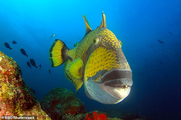 A triggerfish pictured swimming through the waters around Koh Tao, southern Thailand