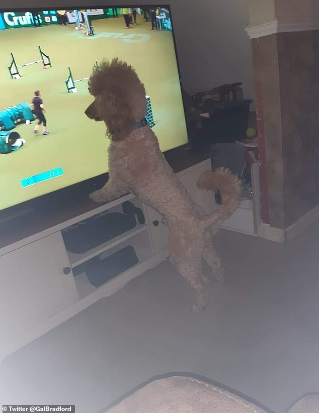 Brit Gal shared this sweet shot of the miniature poodle that Albert enjoys watching Crufts' agility