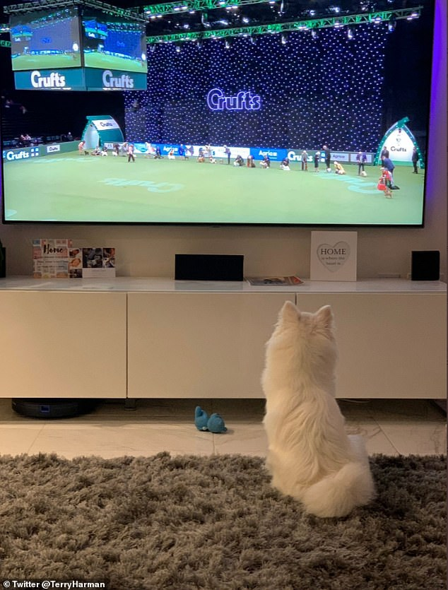 Twitter user Terry Harman from London shared this cute photo of her puppy Lily, a Japanese Spitz, looking at Crufts