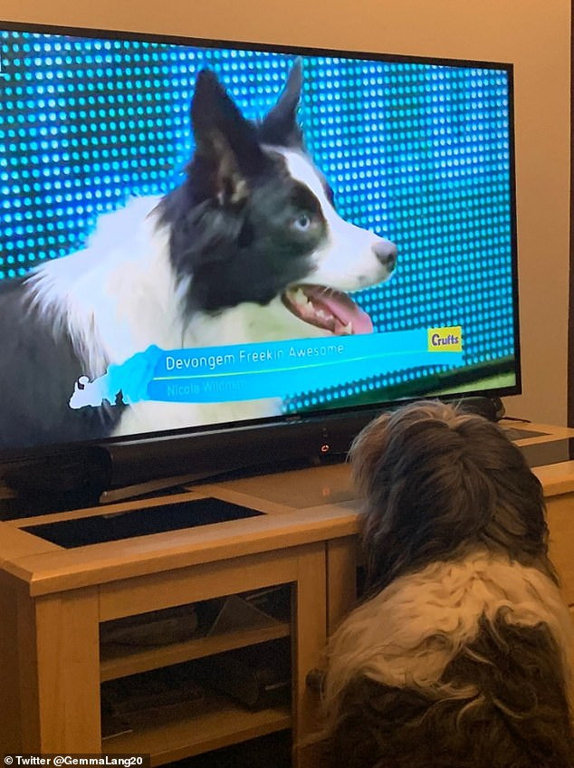 Gemma Lang, from South Wales, published this photo of Tilly, the Polish plain, glued to Crufts. Gemma recounted how the sweet bastard dog was shot last year with Clare Balding