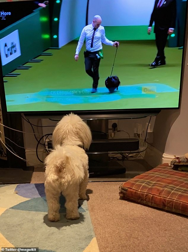 This Coton de Tulear, owned by Meg Pendleton, of London, really went into action in Crufts